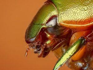 Escarabajo, insecto
