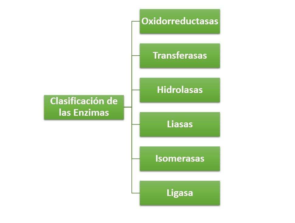Clasificaci n de las enzimas c mo se clasifican for Como se cocinan las gambas
